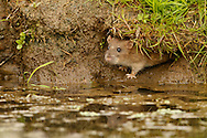 Brown Rat (Rattus norvegicus) adult, emerging from water vole hole, Norfolk, UK.