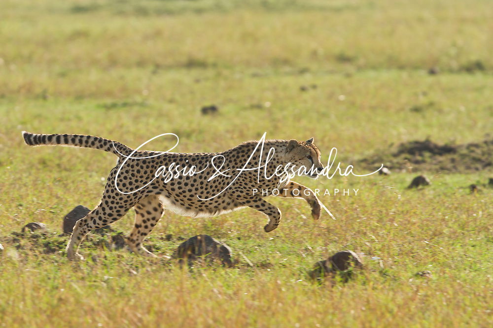 The 3 male cheetahs were anware of the presence of the calf until it jumped up from a patch of grass and the chase begun. The calf was reached multiple times by the cheeaths who were apparently already fed enough to eat again. They played with the gazelle by catching and releasing it many times before finally starting to bite it alive. Poor baby gazelle.