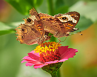 Pair of Frisky Common Buckeye Butterflies on a Zinnia Flower. Male with the tattered wings being rejected. Image taken with a Nikon D850 camera and 200-500 mm f/5.6 VR lens (ISO 560, 500 mm, f/5.6, 1/1000 sec).