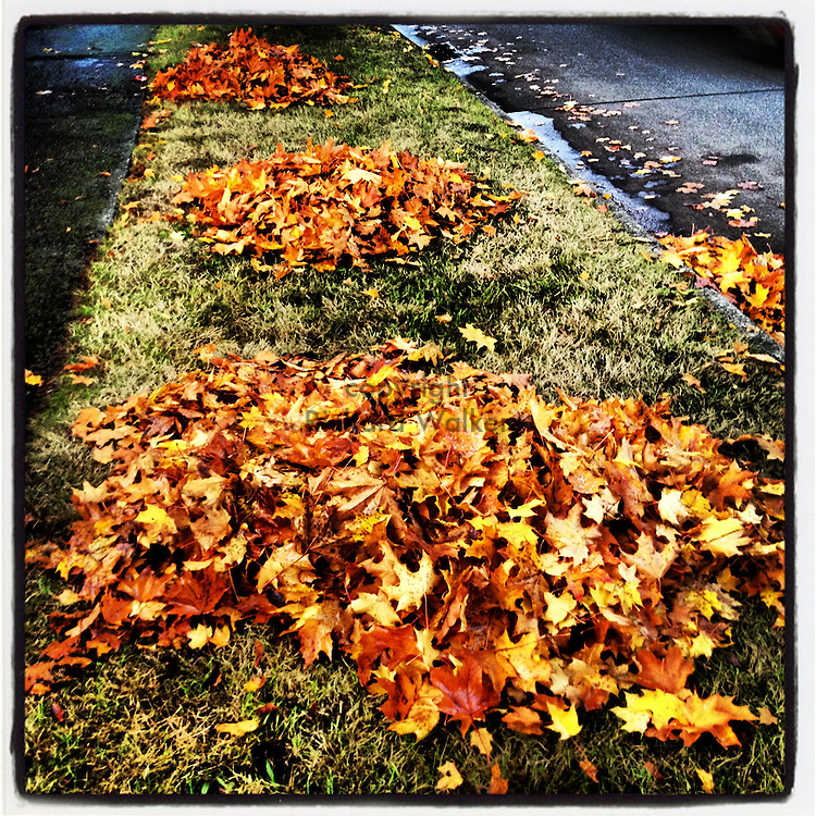2012 October 25 - Raked maple leaves in piles near a sidewalk in a neighborhood in West Seattle, WA, USA. Taken/edited with Instagram App for iPhone. By Richard Walker