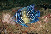 Juvenile Emperor Angelfish<br /> <br /> shot in Indonesia