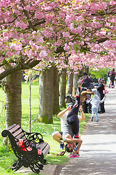 © Licensed to London News Pictures. 23/04/2017. Greenwich, UK. Londoners are enjoying the popular avenue of cherry blossom in Greenwich Park which is now in bloom. Photo credit : Rob Powell/LNP