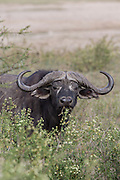 Trophy Cape buffalo in east African Habitat