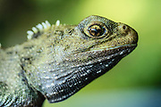 Portrait of a juvenile tuatara, New Zealand