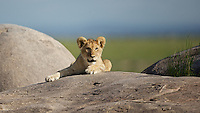 Lion cub on the kopje rocks, Serengeti