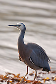 White-faced Heron Pictures - Photos