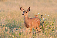 A very alert little fawn in the afternoon light.
