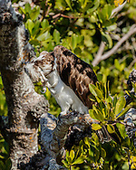 Osprey scratching his head while perched on mangrove branch, © 2015 David A. Ponton
