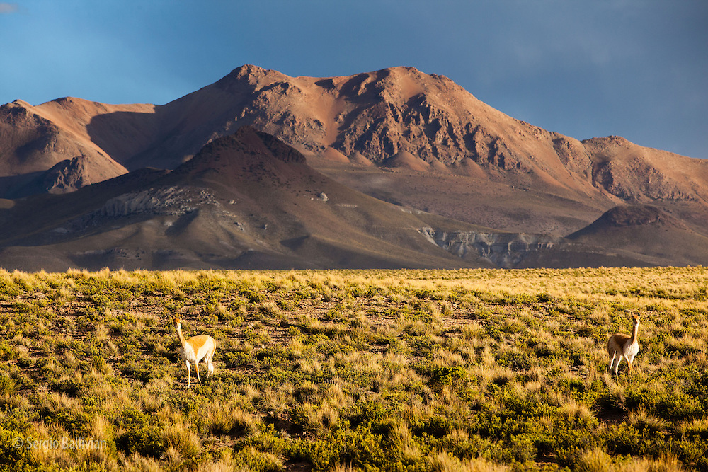 A herd of wild Vicunas (Vicugna Vicugna) cautiously sniff a pile of vicuna  dung in a daily ritual of marking territory and inter-group dominance in soithwestern Bolivia's Altiplano.