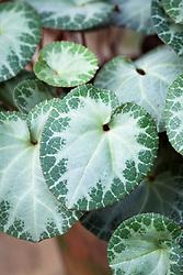 Cyclamen purpurascens silver leaf 'Garibaldi'