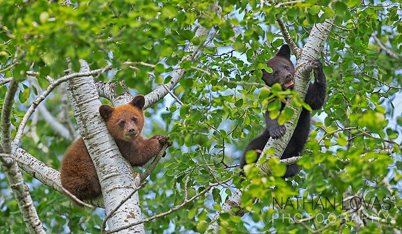 Black bear spring cubs in tree ;  taken in wild in Minnesota.