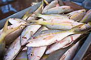 Freshly caught yellow tail snapper are unloaded at the harbor at Stock Island, Key West, Florida.