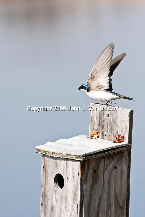 Tree Swallow taking off from nesting box