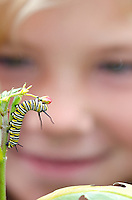A young girl watching a monarch butterfly, Danaus plexippus caterpillar eating Mexican Butterfly Weed or Scarlet Milkweed, Asclepias curassavica in their school garden in Meiners Oaks, California.