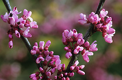 Cercis canadensis in flower