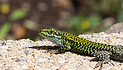 Best guess is that this is a Western Green Lizard, Lacerta Bilineata —