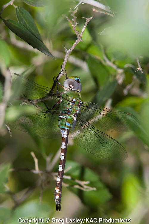 Amazon Darner.Anax amazili.female.Santa Ana N.W.R.,.Hidalgo Co., Texas.4 October 2008