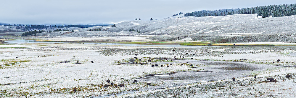 In the middle of September, Yellowstone received its first snowfall of the season. The next morning, this herd of buffalo was found grazing in the Hayden Valley. This valley, which is located in between Yellowstone Lake and the falls, is a popular place to view wildlife.