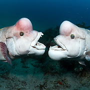 These are two mature male Asian sheepshead wrasses (Semicossyphus reticulatus) fighting over territory during the breeding season. During this season, the mature males take on a whitish coloration, particularly when they are approaching female wrasses and when they engage in territorial disputes with other males. The male on the left in this image is Yamato, the dominant male in this area. He is the successor to Benkei. Wrasses are protogynous hermaphrodites, meaning that all individuals start life as females, then eventually turn into males. This image is licensed on an exclusive basis to BBC through 29 October 2021.