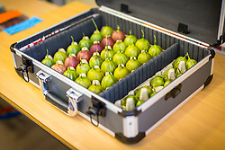 © Licensed to London News Pictures. 07/08/2018. Egton Bridge UK. Graeme Watson's Gooseberry's arrive for weighing this morning in a specially adapted case at the Egton Bridge Goosberry show. Weighing has begun this morning at the UK's oldest surviving Gooseberry Show, established in 1800 in Egton Bridge in North Yorkshire. Growers come from all of the UK to compete for the heaviest Gooseberry prize. Photo credit: Andrew McCaren/LNP