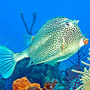 Honeycomb Cowfish swim about reefs blending with the background in Tropical West Atlantic; picture taken San Salvador, Bahamas.