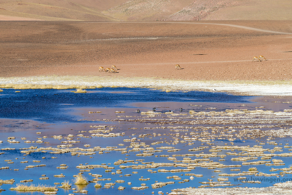 Vicuñas in Andean landscape, dotted with volcanos, salty lake in the foreground. Location: Between San Pedro de Atacama and El Tatio geysir field, in the Atacama desert, north Chile