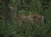 A whitetail doe stands partially hidden in the forest at dusk in North Georgia.