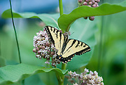 Butterfly pollinating a milkweed plant grown by Jean Giblette at High Falls Gardens, Claverack, NY