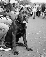 "Beautiful Cane Corso I met at the event ""My Dog Loves Central Park"" in October of 2013"