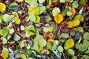 USA, Idaho, Valley County, McCall, Fallen leaves