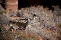 UT00132-00...UTAH - Mule deer in Aeches National Park.