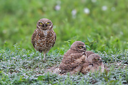 Baby Burrowing owls twist their  heads in amazing directions while surveying their surroundings. Burrowing Owls in Habitat