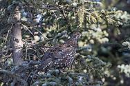 Spruce grouse in autumn habitat