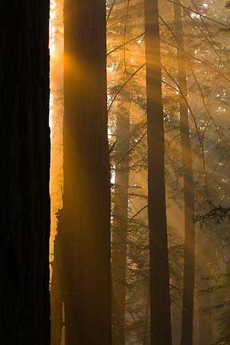 Del Norte Coast Redwood State Park, light beams, Redwood trees, California