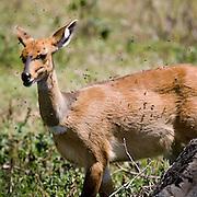 (Redunca redunca) A Female Bohor Reedbuck is Pestered by a Swarm of Flies