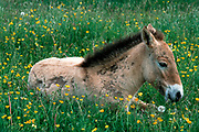 Breeding herd of Przewalski horses in Cervennes region of France to ship back to Mongolia - foal takes a rest among the buttercups