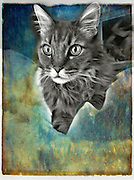 "Maine, Coon Cat, Forehead  ""M"" Grey, Furry ears, pointy ears, Domestic, House Pet,"