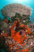 Hard Coral Bommie with Table Coral, Encrusting Sponge, and Anthias.Shot in West Papua Province, Indonesia