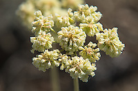 This native buckwheat has just past its peak flowering and as the flowers begin to droop, seeds will ripen that will feed the wildlife of the sagebrush desert, like here in Central Washington's Cowiche Canyon.