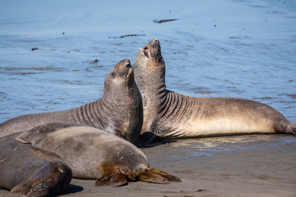 Elephant seals sparring on the beach in California.