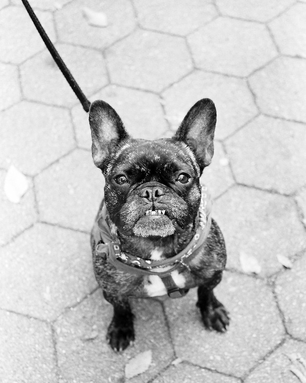 "French Bulldog enjoying the event ""My Dog Loves Central Park"""