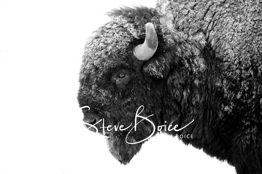 American Bison profile in black and white during the winter