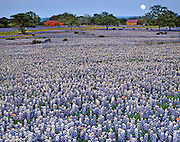 Field of bluebonnets (Lupinus texensis), Indian paintbrush (Castilleja indivisa) and Fendler's bladderpod (Lesquerella fendleri), Llano County, TX / #HC33