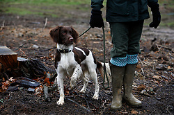 UK ENGLAND GRANTHAM 15DEC11 - A gundog stands at attention during the pheasant shooting at the Belvoir Castle Estate in Leicestershire, England.<br /><br />jre/Photo by Jiri Rezac<br /><br /> <br /> <br /> <br /> © Jiri Rezac 2011