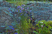 Harebells (Campanula rotundifolia) blossoms growing on Kendall Inlet Road<br /> Kenora<br />Ontario<br />Canada