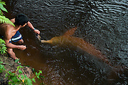 Amazon Pink River Dolphin or Boutu (Inia geoffrensis) being hand fed.<br /> Cocaya River. Eastern Amazon Rain Forest. Border of PERU &ECUADOR. South America<br /> HABITAT & RANGE: Fresh water both turbid whitewaters and clear blackwaters. Amazon Basin, Orinoco Basin & Madeira River of Bolivia.<br /> These are diurnal and nocturanal mammals. Often solitary or in groups of 2 - 4. They feed on fish, crabs and turtles. When they surface to breath only a small portion of their backs are visible. The young are usually dark gray. Their colors vary from pale to pink.