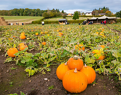 Kilduff Farm, East Lothian, Scotland, United Kingdom, 17 October 2019. Pumpkin Patch: The pick your own pumpkin patch gears up for its opening tomorrow. In its second year, Lucy and Russell Calder and their children make final preparations for visitors. The patch is open this weekend and next, selling a variety of Halloween carving pumpkins and culinary pumpkins.<br /> Sally Anderson | EdinburghElitemedia.co.uk