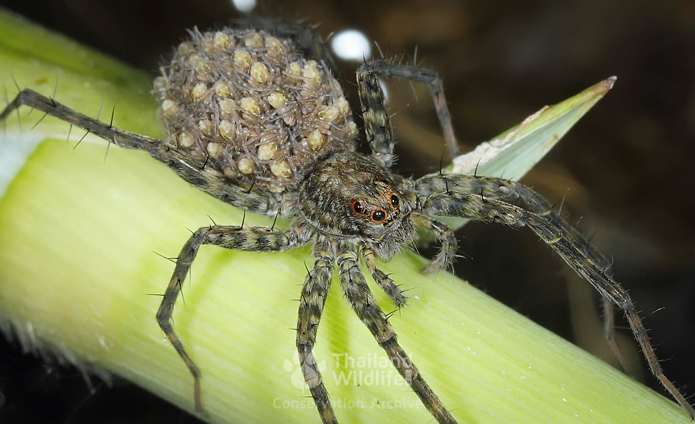 Wolf Spider (Lycosidae) with brood of young.