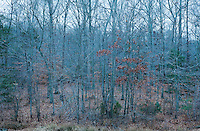 Looking into a Winter deciduous forest in southern Maryland at twilight