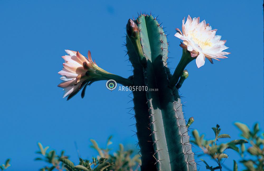 Flor de cactos (Cereus hildmanianus) Brasil - 2002. Especie comum em varios biomas e ecossistemas: Restinga, Pampa, Caatinga, Cerrado / Flower of cactus  This species are common in many biomas: Pampa, Caatinga, Cerrado. Parque Estadual de Itapua.